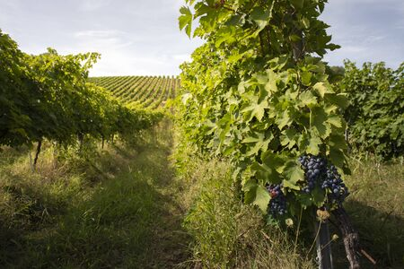 Vineyards with red grape for wine making. Big italian vineyard rows. Sunny day. Standard-Bild