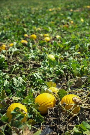 Melons in the field. Sunny day. Plantation with yellow melons in Italy. Big farm with melons. Stok Fotoğraf - 133834497