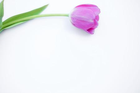lone: Lone Tulip