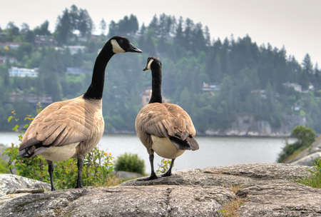 Two geese walking away towards sea Stock Photo - 6902417