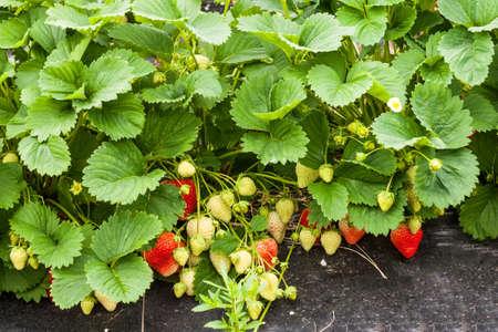 Closeup of growing fresh organic strawberries  Fragaria ananassa  in the greenhouse on the strawbery farm