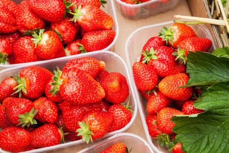 fragaria: Box of fresh organic strawberries on the straw floor of a large greenhouse  Fragaria ananassa