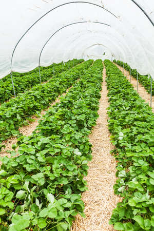fragaria: Large greenhouse with rows of fresh organic strawberry plant (Fragaria ananassa) Stock Photo