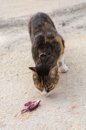 raw fish: Cat with brown, black, gray and white hair eating raw fish meat on the ground