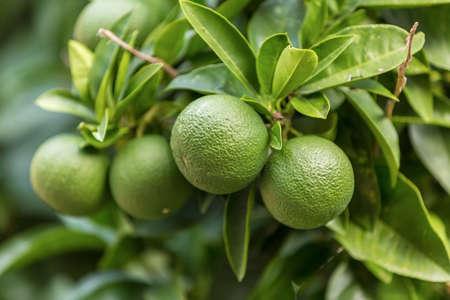 Echte biologische sinaasappelen groeien aan de boom, nog groen, voordat hij rijp Stockfoto