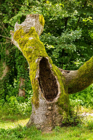 hollow tree: Hollow tree in a park, covered with moss