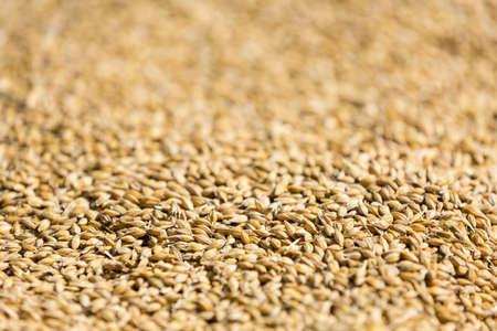 cebada: Reci�n cosechado los granos de cebada - cerca de los granos de malta. Cebada en el fondo. Concepto de alimentaci�n y la agricultura.