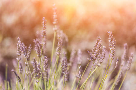 french perfume: Lavender growing in the field, against the sun