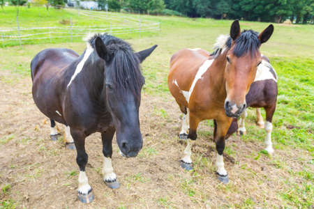 Horses on a pasture on the meadow in the countryside Stock Photo