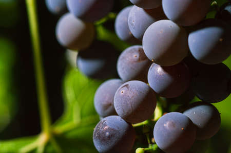 Close-Up Of Grapes Growing At Vineyard. Selective focus. Stock Photo