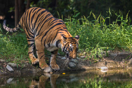tigresa: Tigre de Bengala en un pozo de agua para beber en el Parque Nacional de Sunderbans.
