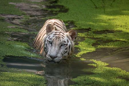 submerged: White Bengal Tiger submerged in swamp water