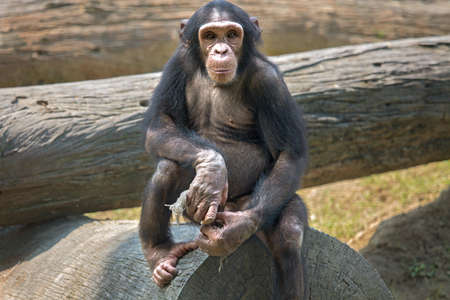 remorse: Baby Chimpanzee at a zoo in Kolkata. Among all apes this species of monkey are considered closest to humans in behavioral traits. Stock Photo