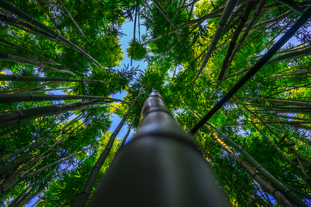 Bamboo Forest, Jungle
