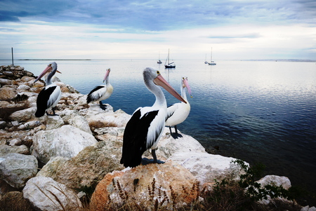 Pelicans, Kangaroo Iceland, Australia
