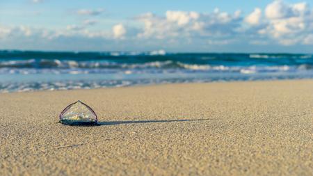 Velella at the beach