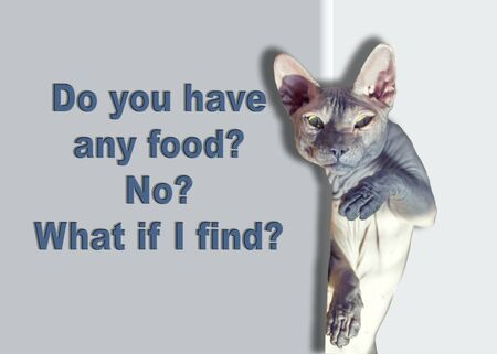 cat food: Funny bald Sphynx cat, food requests. Isolated on white background. Stock Photo