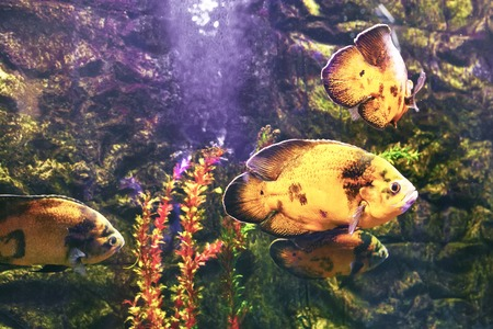 astronotus: Wonderful and beautiful underwater world with corals and tropical fish. Stock Photo