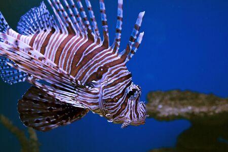 lionfish: Underwater, Underwater World, beautiful fish Red lionfish Stock Photo