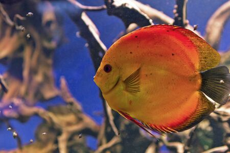 symphysodon discus: Wonderful and beautiful underwater world with corals and tropical fish. Stock Photo
