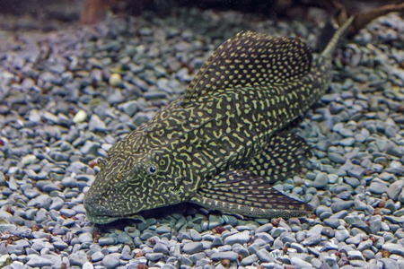 redtail: Closeup  of a tropical redtail catfish, Phractocephalus hemioliopterus, swimming in an aquarium.