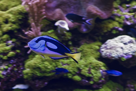 hepatus: Blue Tang fish, Regal Tang Paracanthurus Hepatus Stock Photo