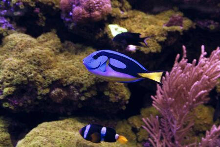tang: Blue Tang fish, Regal Tang Paracanthurus Hepatus Stock Photo