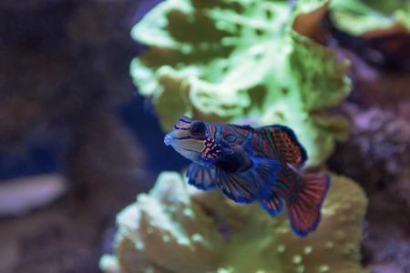dragonet: Small tropical fish Mandarinfish close-up. Sipadan. Celebes sea
