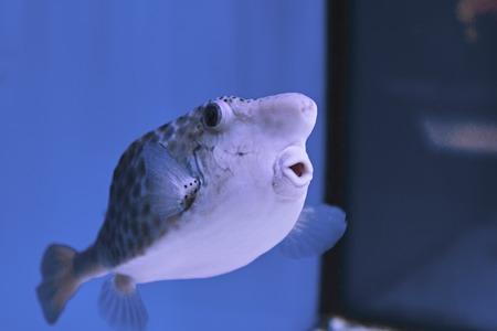 Thornback boxfish Tetrasomus gibbosus - solitair fish swimming close to the sandy bottom at the beautiful shallow lagoon of the Red Sea, Egypt