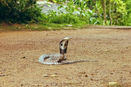 King Cobra Ophiophagus hannah. The world's longest venomous snake. Venomous snake prepares for attack. Cobra Hooded dangerous snake.
