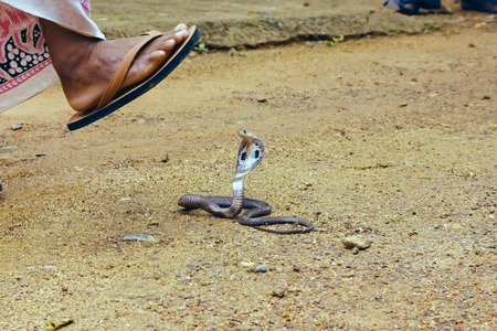 venomous: King Cobra Ophiophagus hannah. The worlds longest venomous snake. Venomous snake prepares for attack. Cobra Hooded dangerous snake. Man comes to the snake Stock Photo