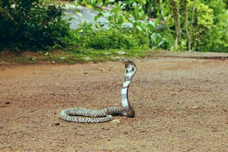 king cobra: King Cobra Ophiophagus hannah. The worlds longest venomous snake. Venomous snake prepares for attack. Cobra Hooded dangerous snake. Stock Photo