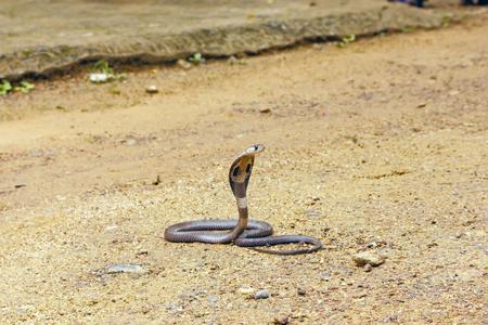 egyptian cobra: King Cobra Ophiophagus hannah. The worlds longest venomous snake. Venomous snake prepares for attack. Cobra Hooded dangerous snake. Stock Photo