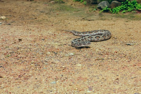 snake bite: Venomous snake crawling through the sand and trying to bite