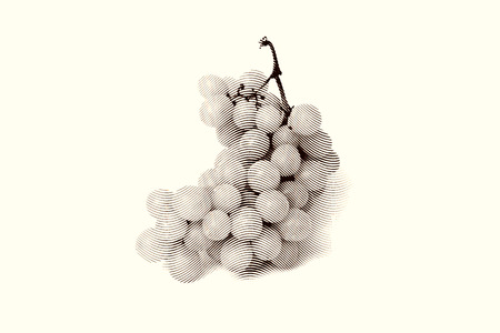 ilustration and painting: Black and white sketch painting bunches of grapes. Black and white