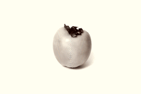 tacky: Persimmon fruit Sketch painting isolated on the white background Black and white