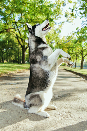 The gray husky dog standing on two legs. Playing in the park, autumn landscape, warm weather. Stock Photo
