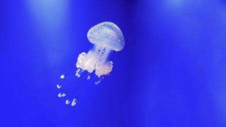 Beautiful colorful jellyfish in aquarium. Jellyfish from sea.
