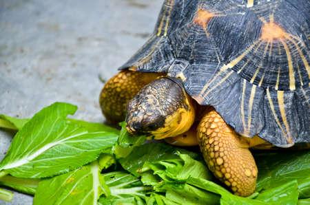 Land turtles eat fresh vegetables photo