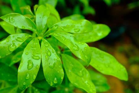 kwaśne deszcze: Edible-stemed Vine Scheffera leucantha R Vig , Thai Herb Zdjęcie Seryjne