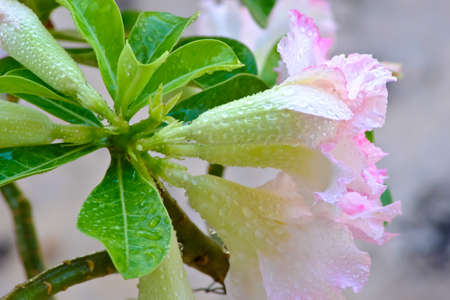 Azalea flowers with condensation