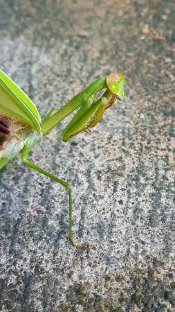 Praying mantis (Mantis religiosa) Banco de Imagens