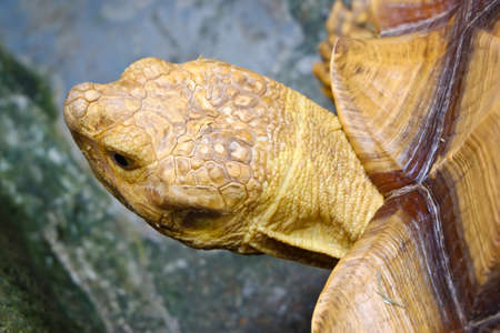 sulcata: The pattern on the surface of the acid turtle species sulcata.