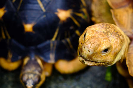 Tortoise species sucata am proud to look. Stock Photo