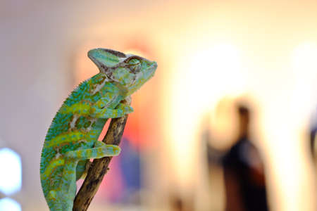 Close-up view of a Veiled Chameleon (Chamaeleo calyptratus).