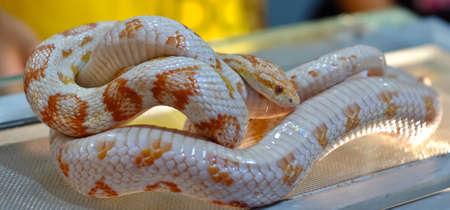 Cute corn snake female on a tree on dark background, hypo fire morph Stock Photo