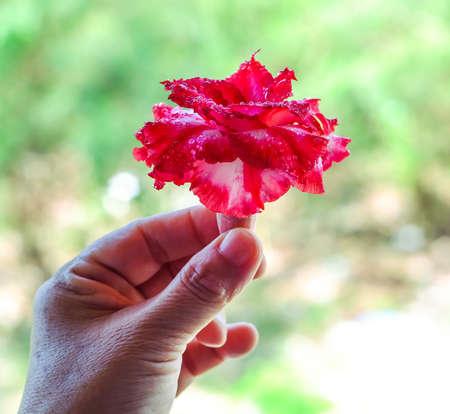 adenium obesum red in the female hand.