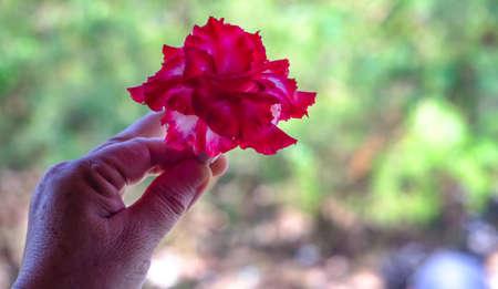 adenium obesum balf: adenium obesum red in the female hand.