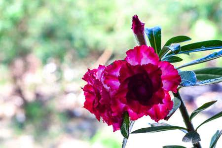 adenium obesum balf: adenium obesum on white background red desert flower