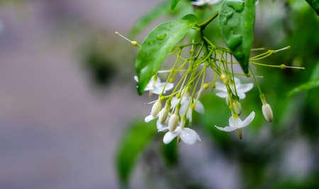 small white flower, Wrightia religiosa Benth